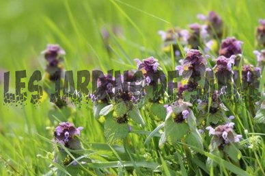 Purple Deadnettle Control: Megszabadulni a Deadnettle Weeds